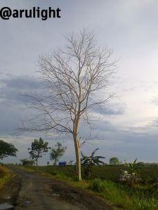pohon yang menyendiri, meranggas tapi hidup sempurna